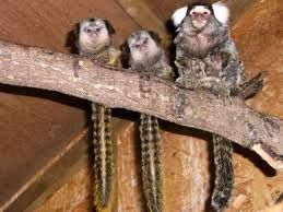 rare baby twin marmosets