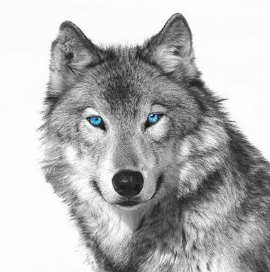 Callas Wagner On Twitter Wolf With Blue Eyes Wolf Face Tattoo Wolf Face