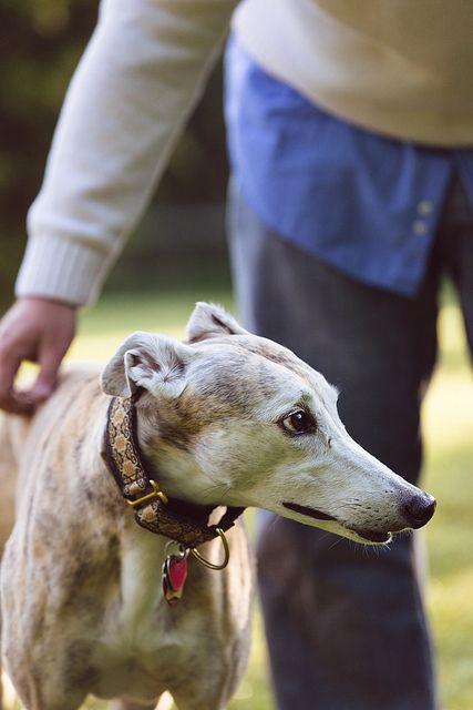 Reddit r/greyhounds tips on adopting a shy greyhound