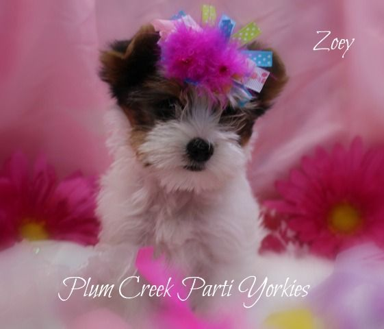 Teacup Parti Yorkie For Sale In Idaho Teacup Yorkie For Sale