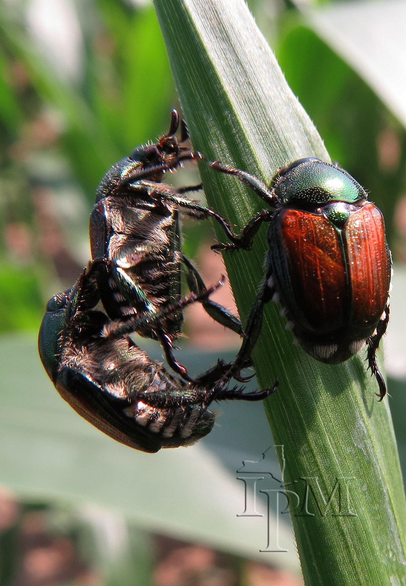 Japanese Beetles On Corn Japanese Beetles Cool Insects Beetle