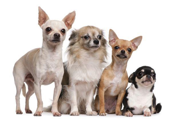 Chihuahua Chihuahua Breeds Chihuahua Puppies Dog Breeds