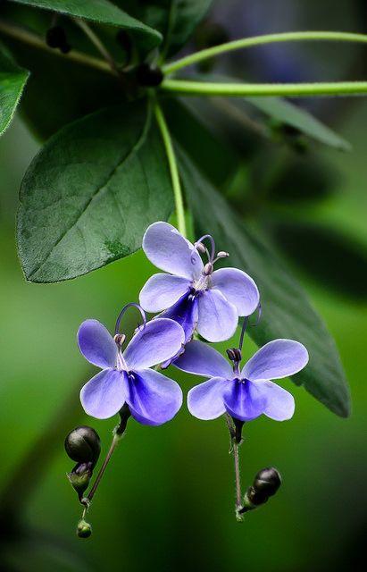 Butterfly bush / Rotheca myricoides by stoplamek on Flickr.