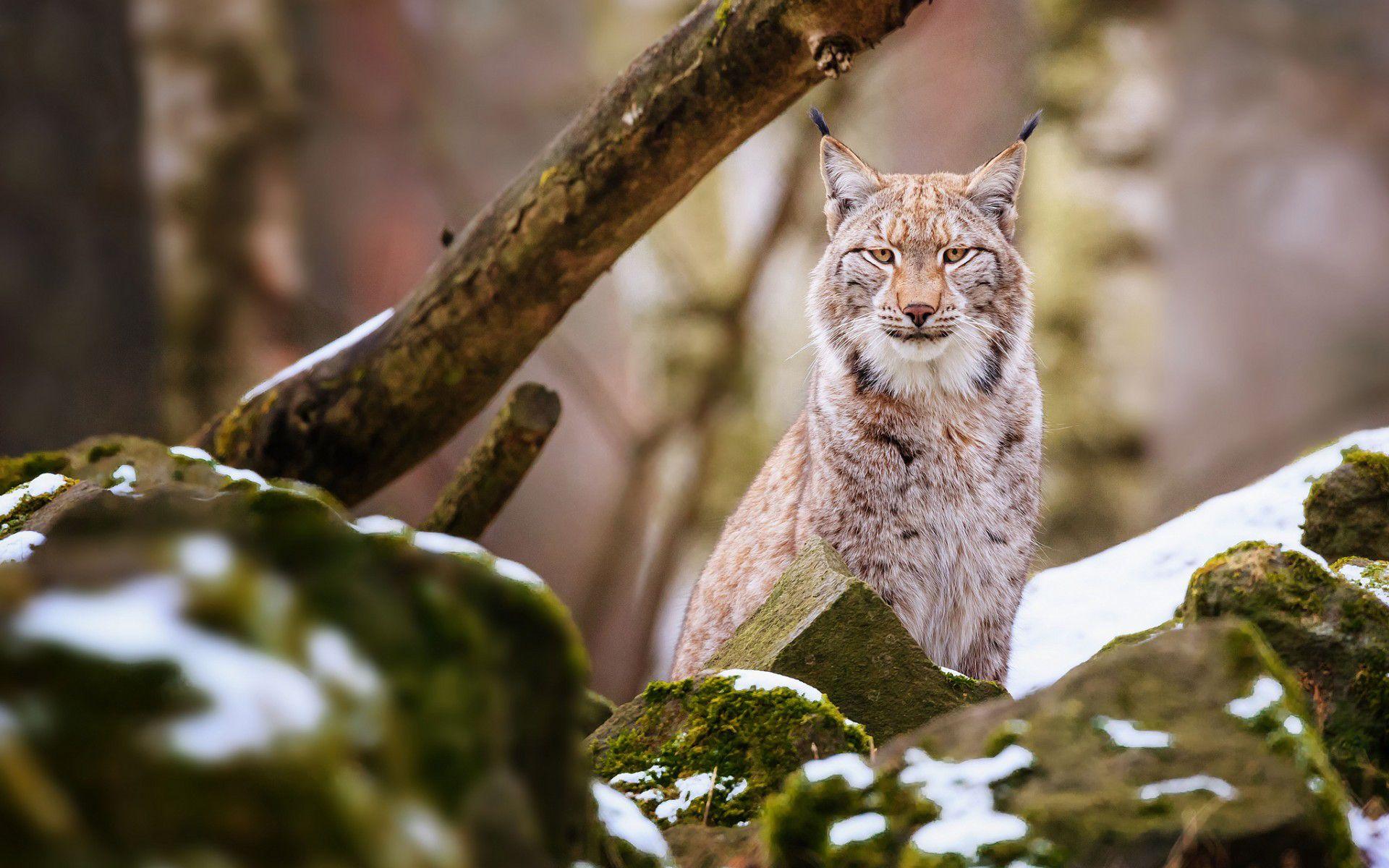 Wallpaper Animals Lynx Animal Wallpaper