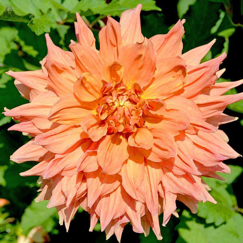 Dahlia Philip Campos At Leafari Colorful Garden Dahlia Orange Flowers