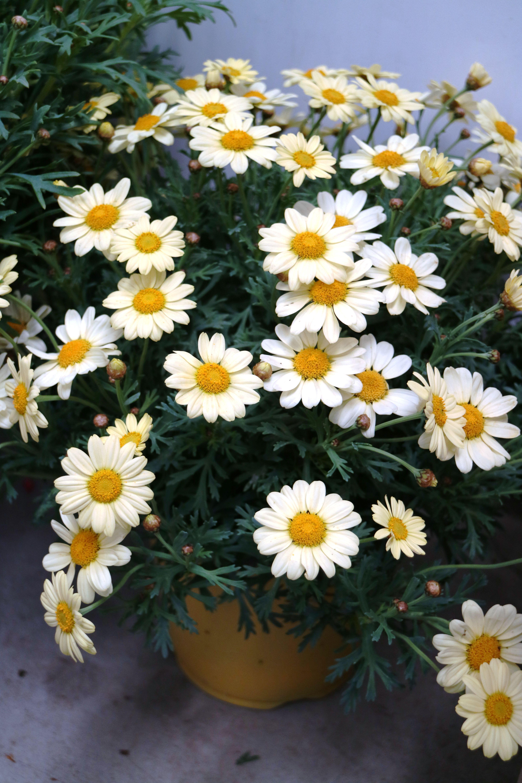 Vaso di margherite piante pinterest margherite vaso for Vasi di fiori dipinti