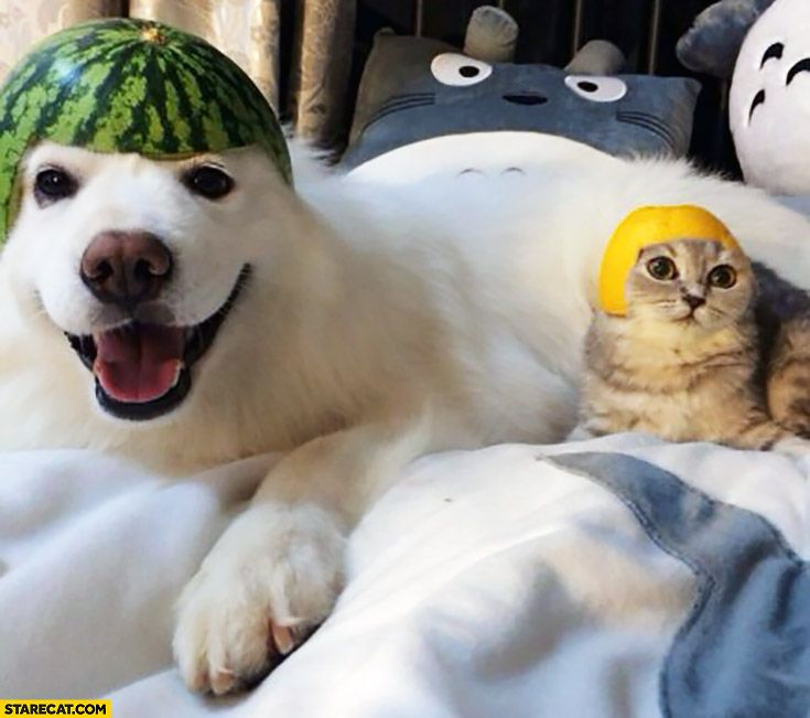 Happy Dog With Watermelon On His Head Cat With Lemon On His Head Funny Animals Funny Animal Pictures Cute Animals