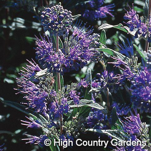 Dark Knight Caryopteris Rabbit Resistant Plants Small Shrubs