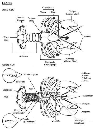 description of lobster body parts