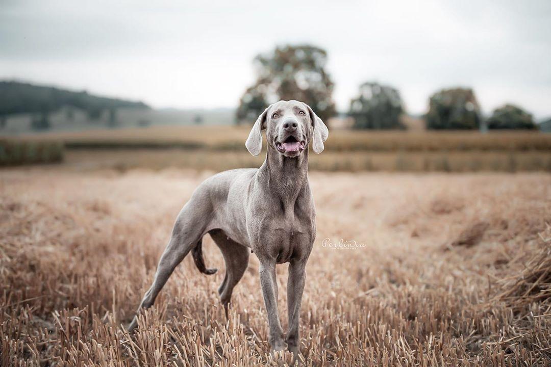 Indira Graue Hunde Finde Ich Personlich Etwas Schon Schwersten Was Die Bildbearbeitung Angeht Da Mag Ich Keine Satten Kna Hund Portraits Hunde Portrait