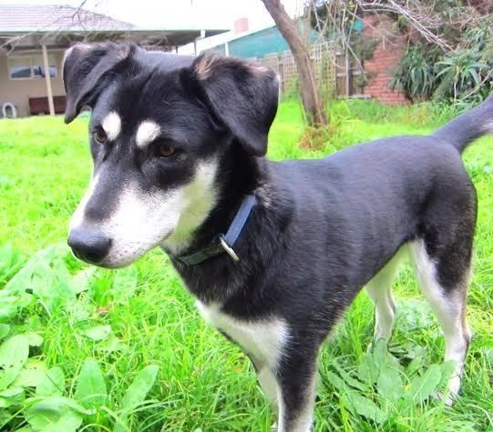 Selese Medium Female Husky X Kelpie Mix In Vic Petrescue Dog Person Dogs Husky