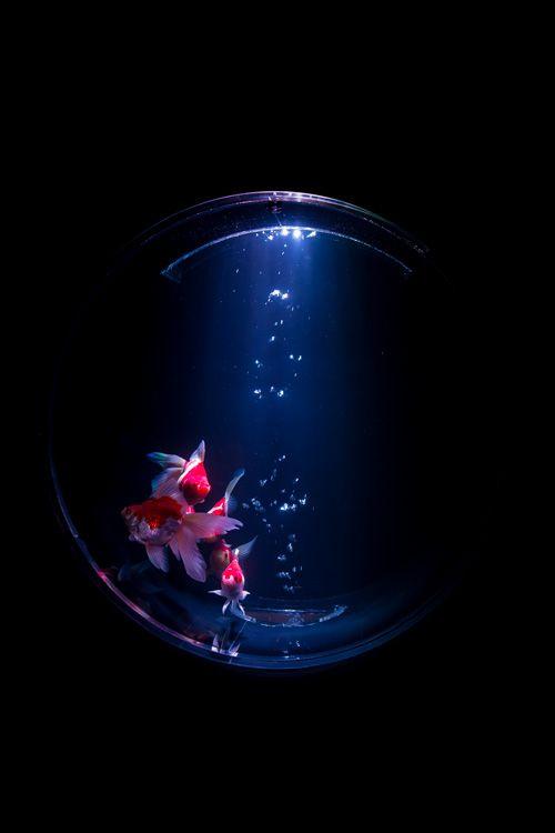 約5000匹の金魚が泳ぐ水中アート「アートアクアリウム2014」開催の写真15