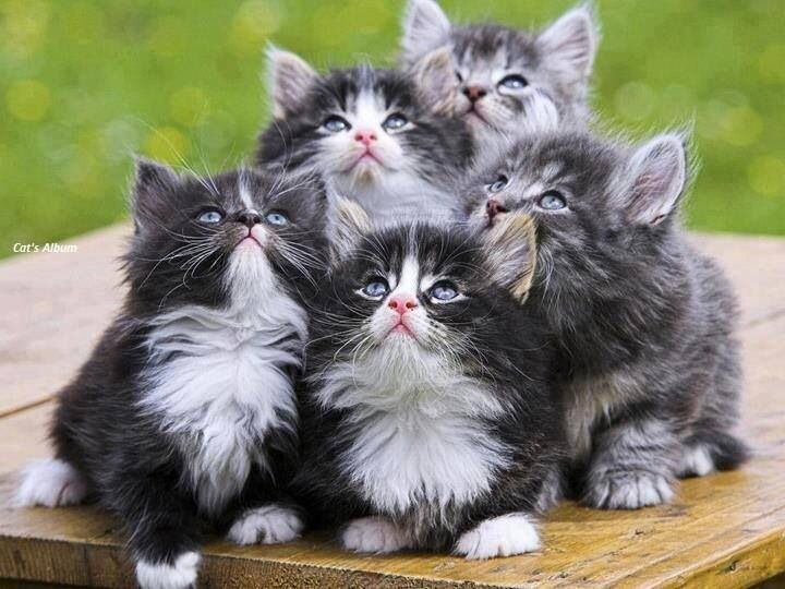 Gorgeous British Longhair Litter Love The Little Black And White