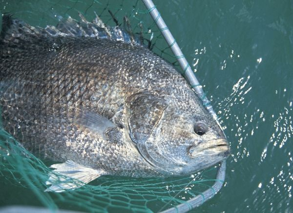 tripletail - port canaveral florida