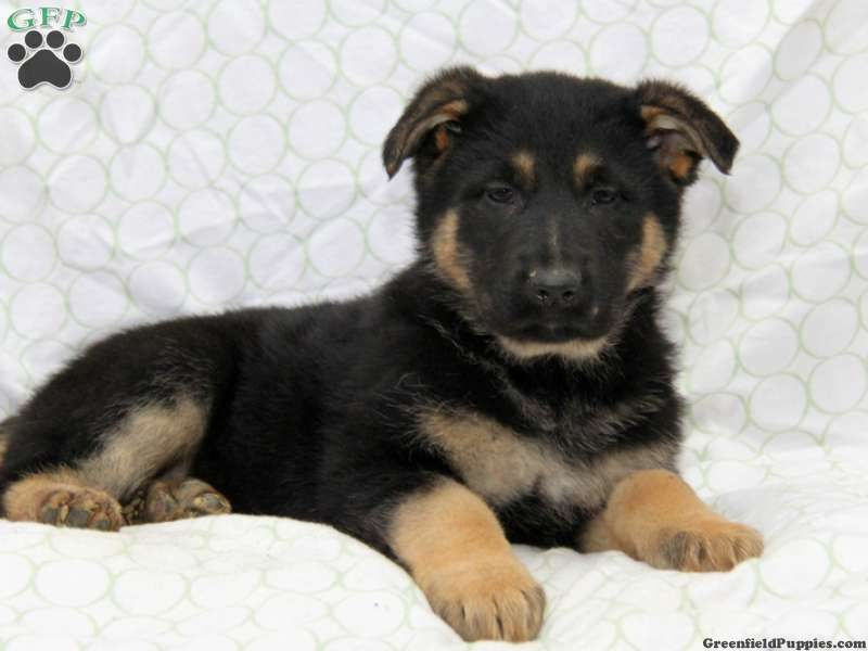Jazzy German Shepherd Puppy For Sale From Honey Brook Pa