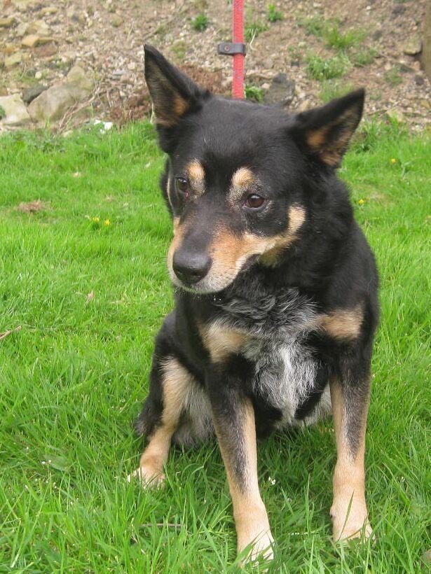 Border Collie Cross German Shepherd Cute Animals Gt