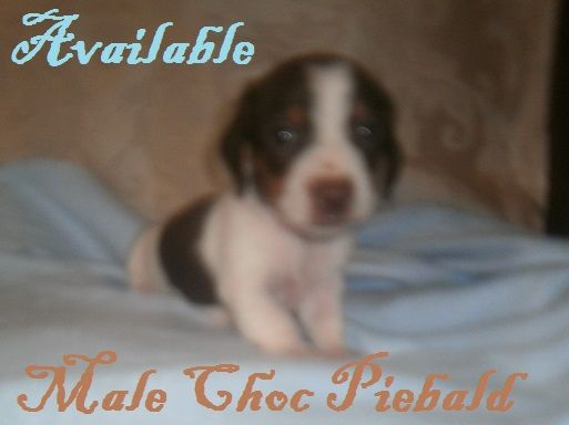 Chocolate Piebald Male Akc Min Dachshund Puppy Available