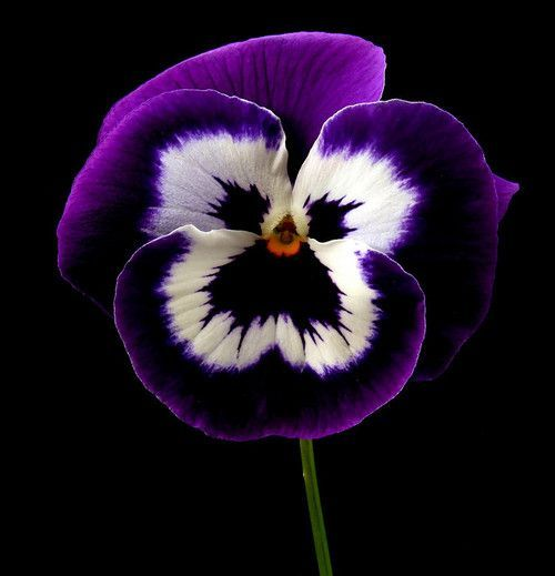 Posing Pansy By Vandas Pictures Purple Black And White Color Flower