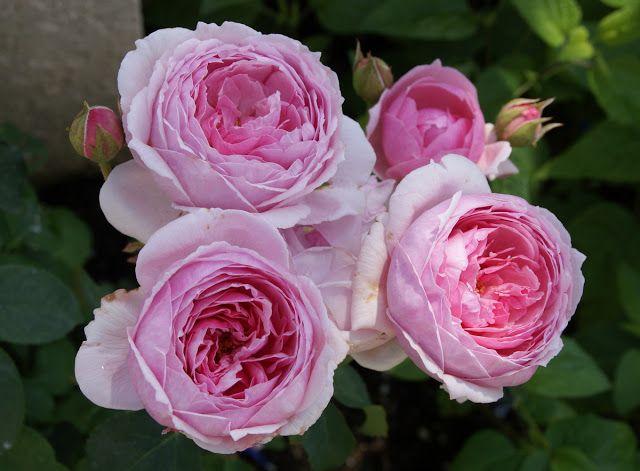 Pretty Jessica Rose David Austin Roses June Flower