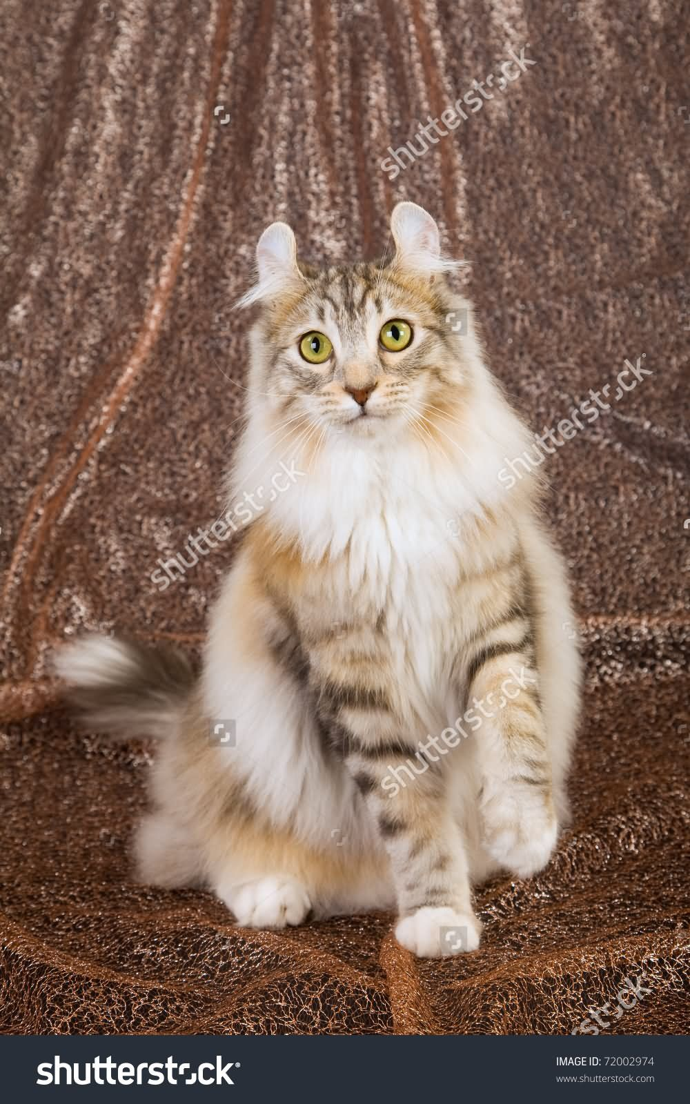 Image Result For American Curl Cat Calico American Curl Animals Abyssinian Cats