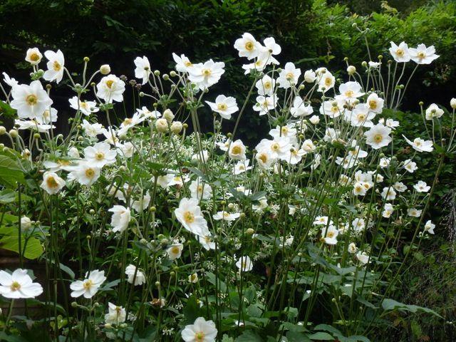 Japanese Anemones The Enduring Gardener Shade Plants Shade Garden Plants Plants