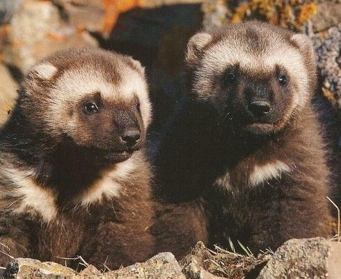 Baby Wolverines3 Michigan Spirit Animals Baby Animals Cute
