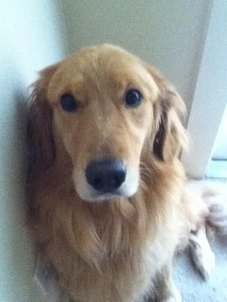 Lostdog Cooper A Light Brown Golden Retriever Male Last Seen 3 19