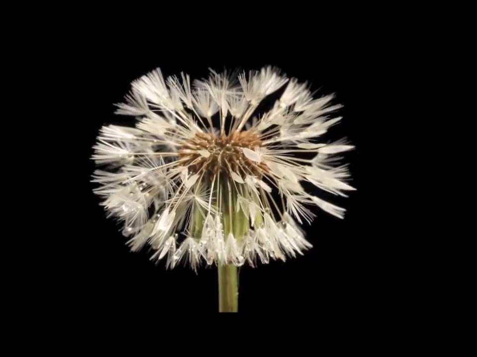 Dandelion Rolling Stones Dandelion Flower Flowers Dandelion