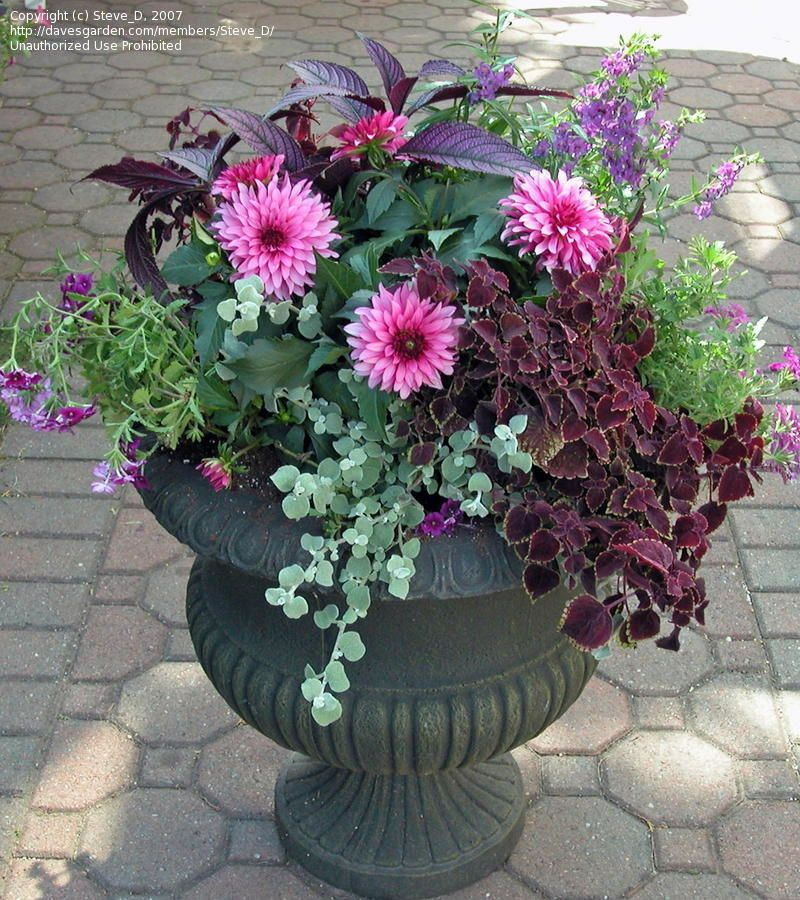 Container Gardening With Dahlia Google Search Garden