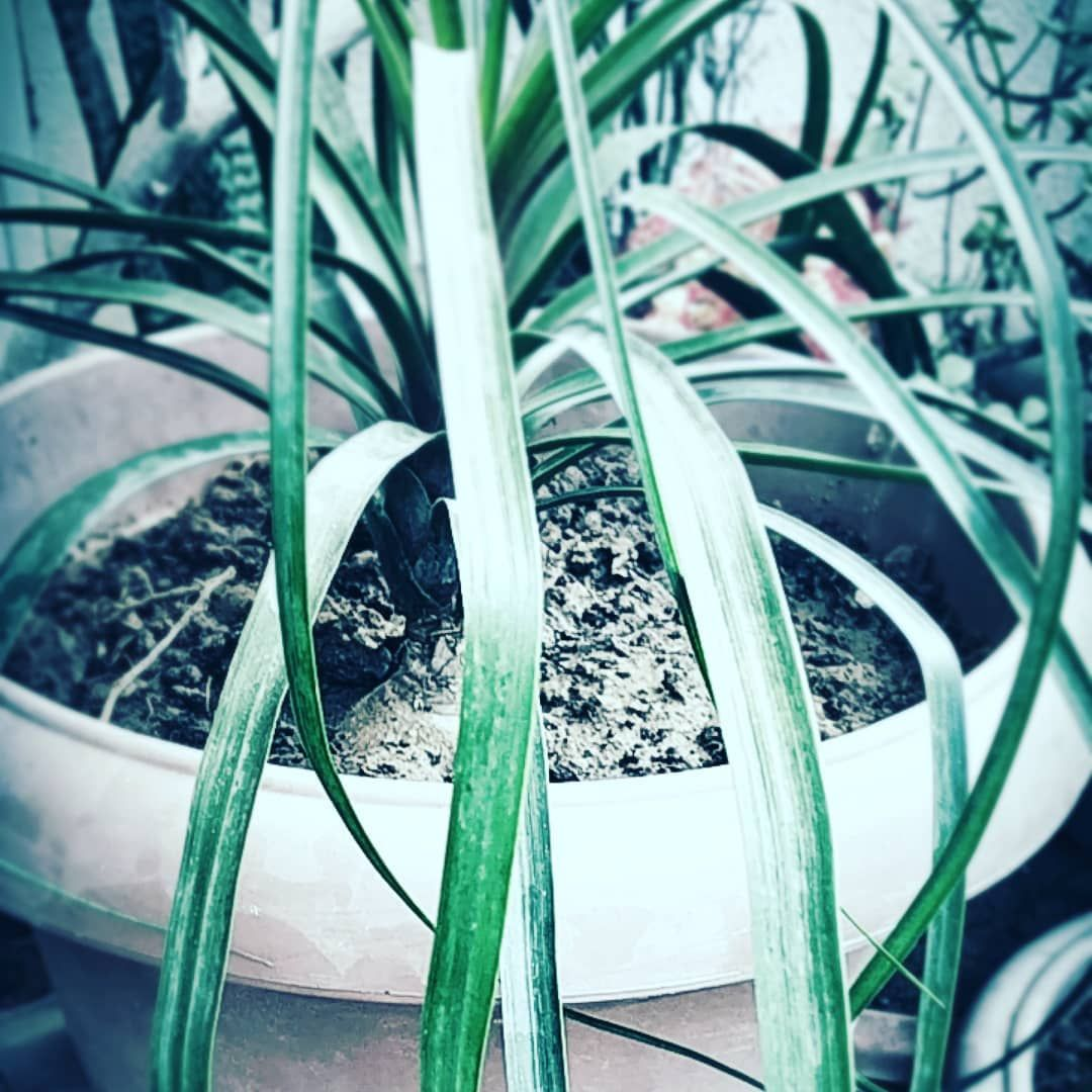 Please follow and share my fb page..... #plantenabler #photooftheday #planthunter #plantsathome #plantobsessed #purify...