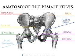 this anatomy of the female pelvis poster provides a visual diagram rh pinterest com female pelvis diagram pdf female pelvis diagram 3d