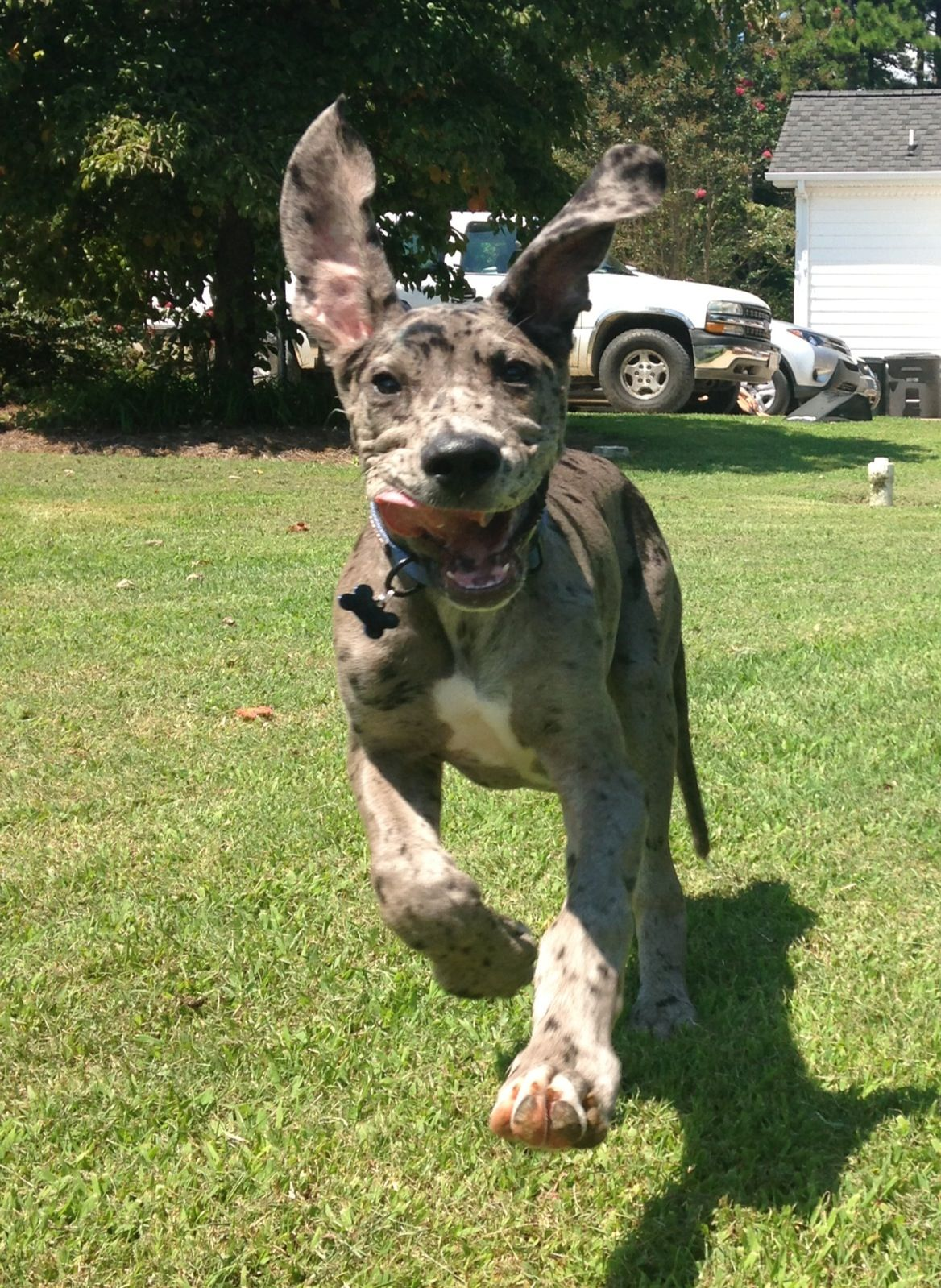Great Dane Puppies For Sale In Quebec Canada