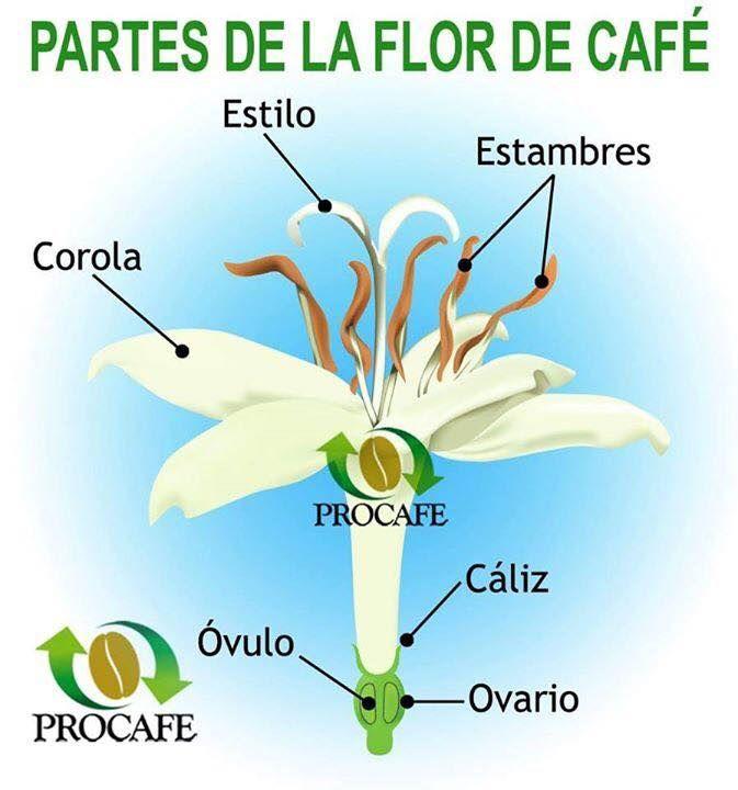 la flor de un cafeto proceso y plantacion de cafe pinterest las flores flor y caf. Black Bedroom Furniture Sets. Home Design Ideas