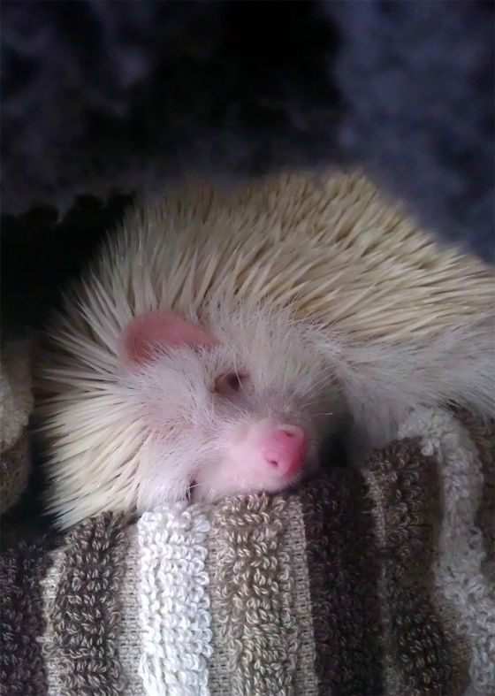 Dizzy Blonde Cute Overload Sleeping Animals Hedgehog Pet Cute Hedgehog