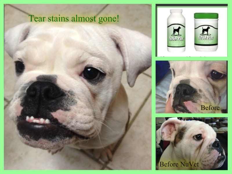 English Bulldog Tear Stains French Bulldog Tear Stains Tips For