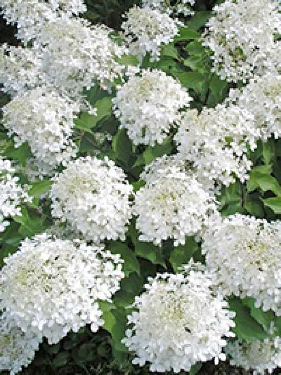 hydrangea paniculata 39 phantom 39 rispen hortensie 39 phantom 39 hydrangeas pinterest hydrangea. Black Bedroom Furniture Sets. Home Design Ideas