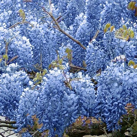 Blue Chinese Wisteria Tree