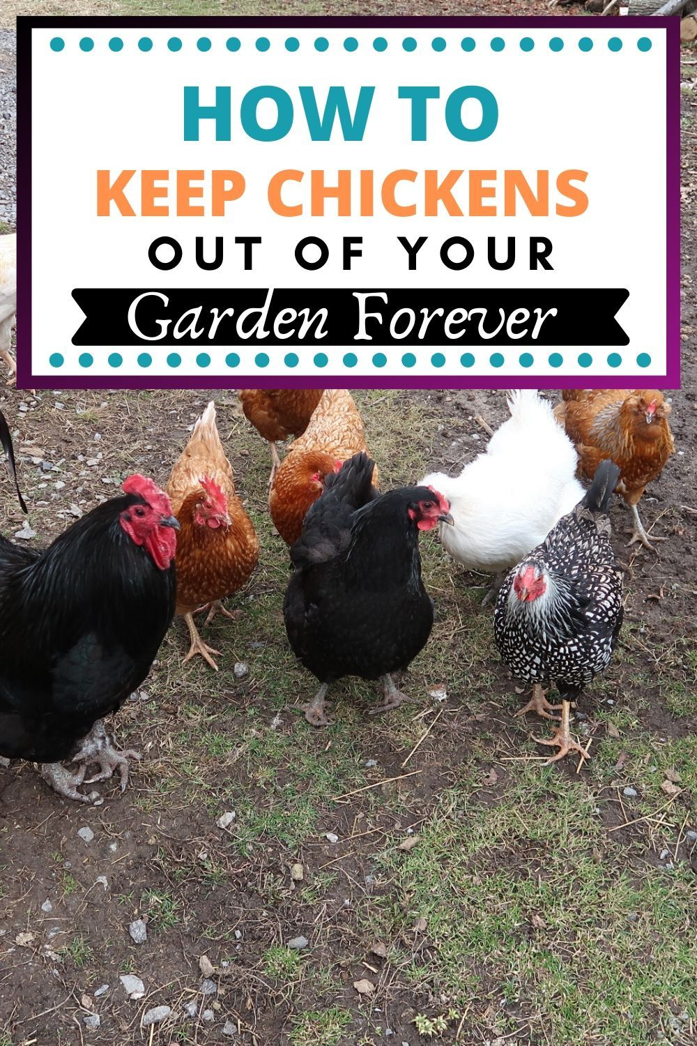 Gardening With Free Range Chickens For Dummies