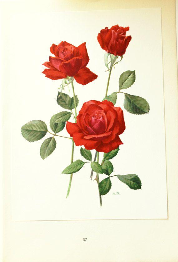 Red Rose Print 1962 Vintage Baccara Rose Poster Print Red