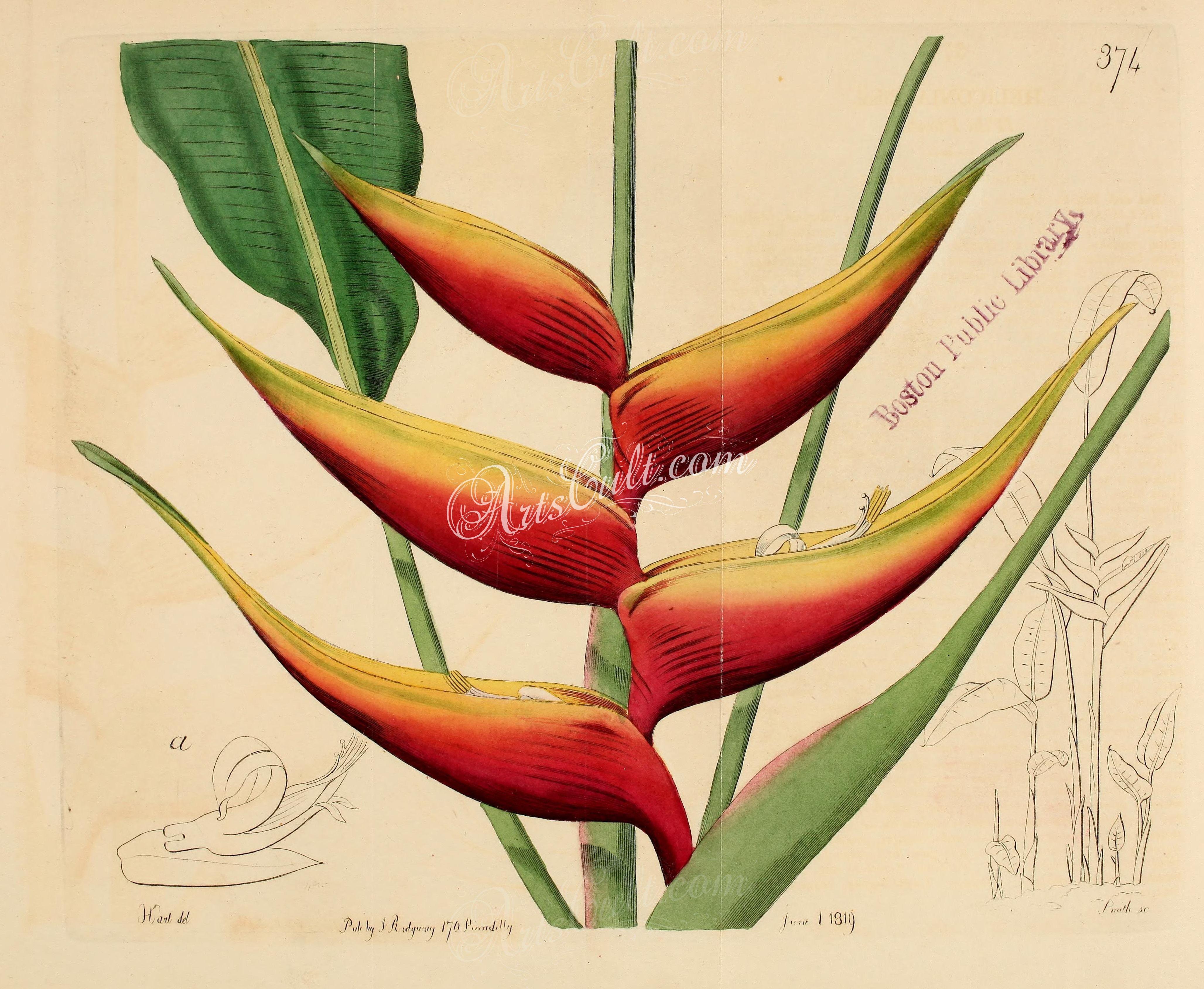 Wild Plantain, heliconia bihai ... | ArtsCult.com - best | Pinterest