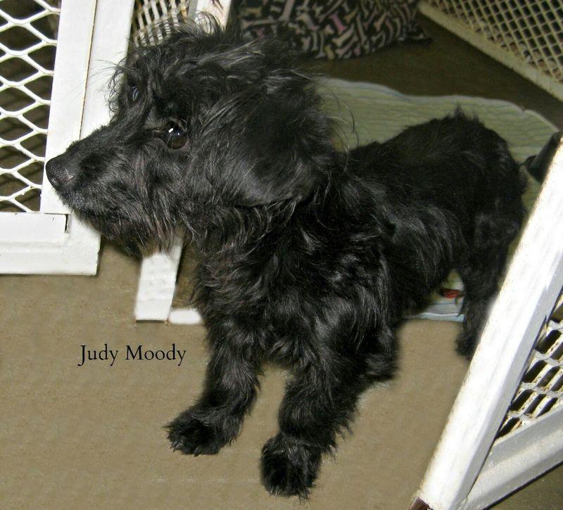 Adopt Moody On Dog Adoption Scottish Terrier Adoption