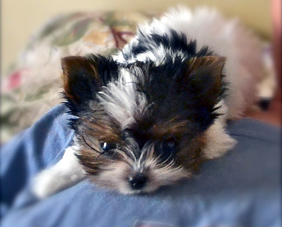 Teacup Parti Yorkie Puppies In Tn From Yorkies Of Northshore Yorkie Puppy Yorkie Puppy For Sale Teacup Yorkie Puppy