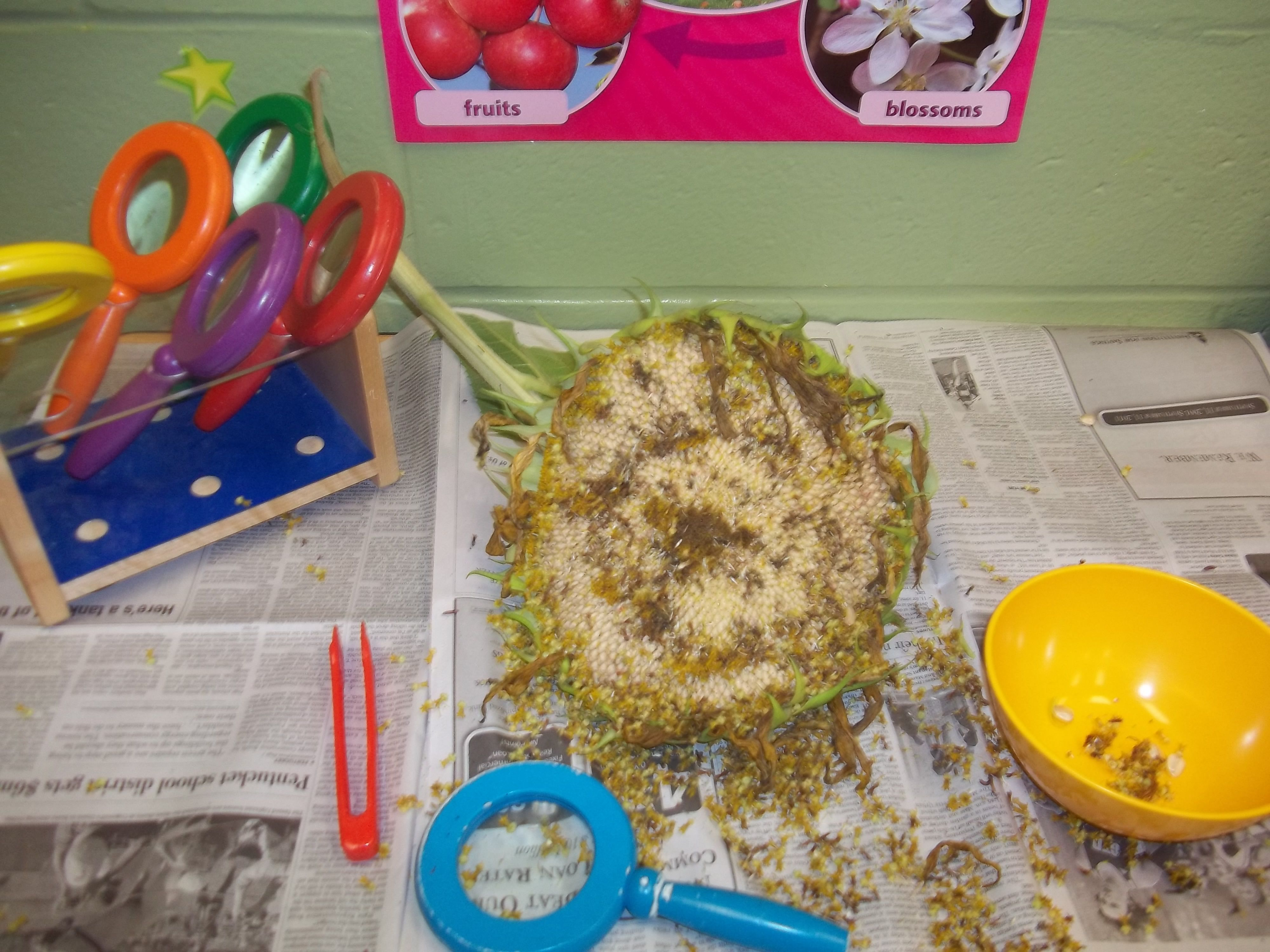 Sunflower Activity In Science Area