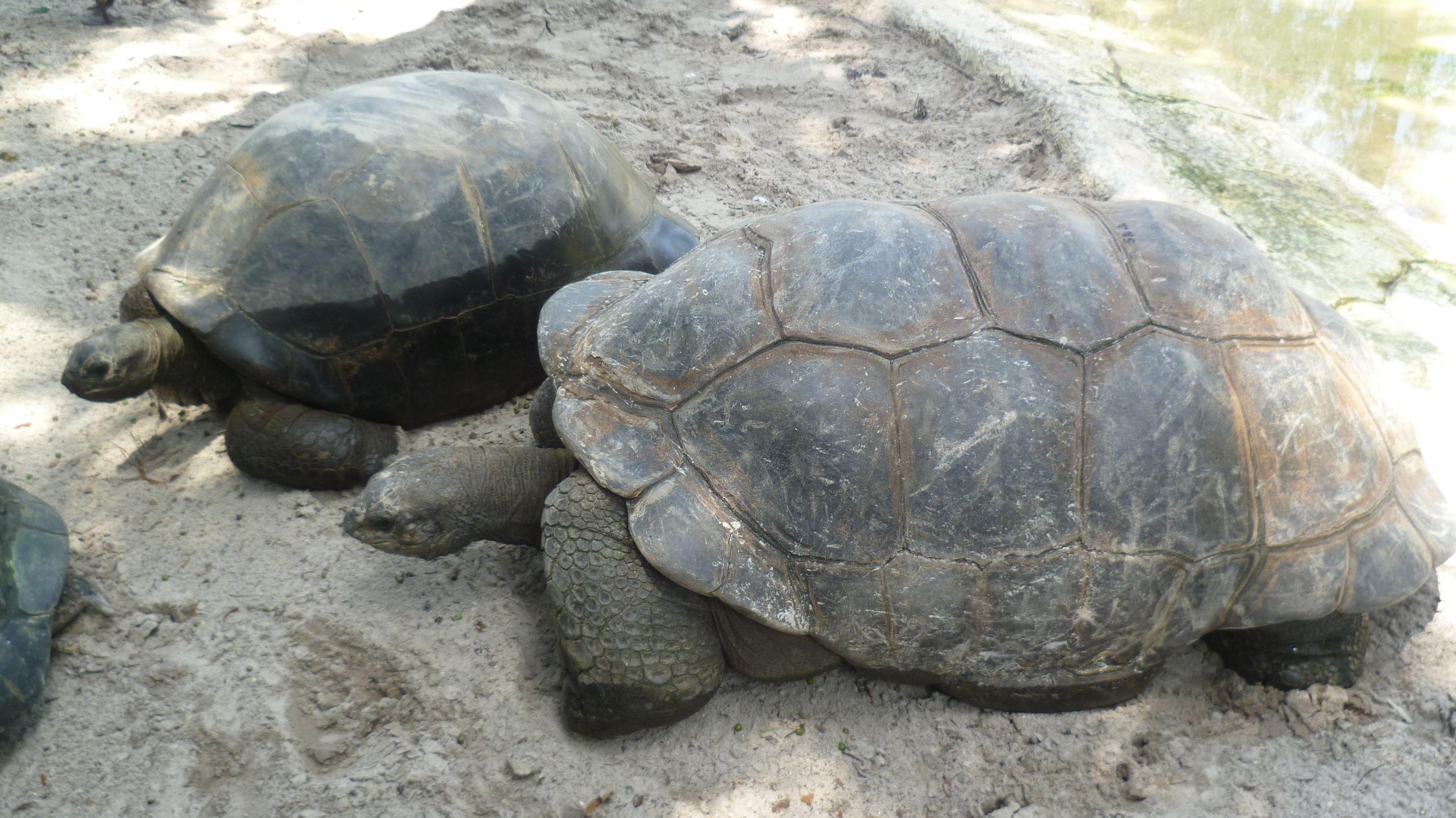 Riesenschildkröten in Orlando. | Tiere | Pinterest | Tier