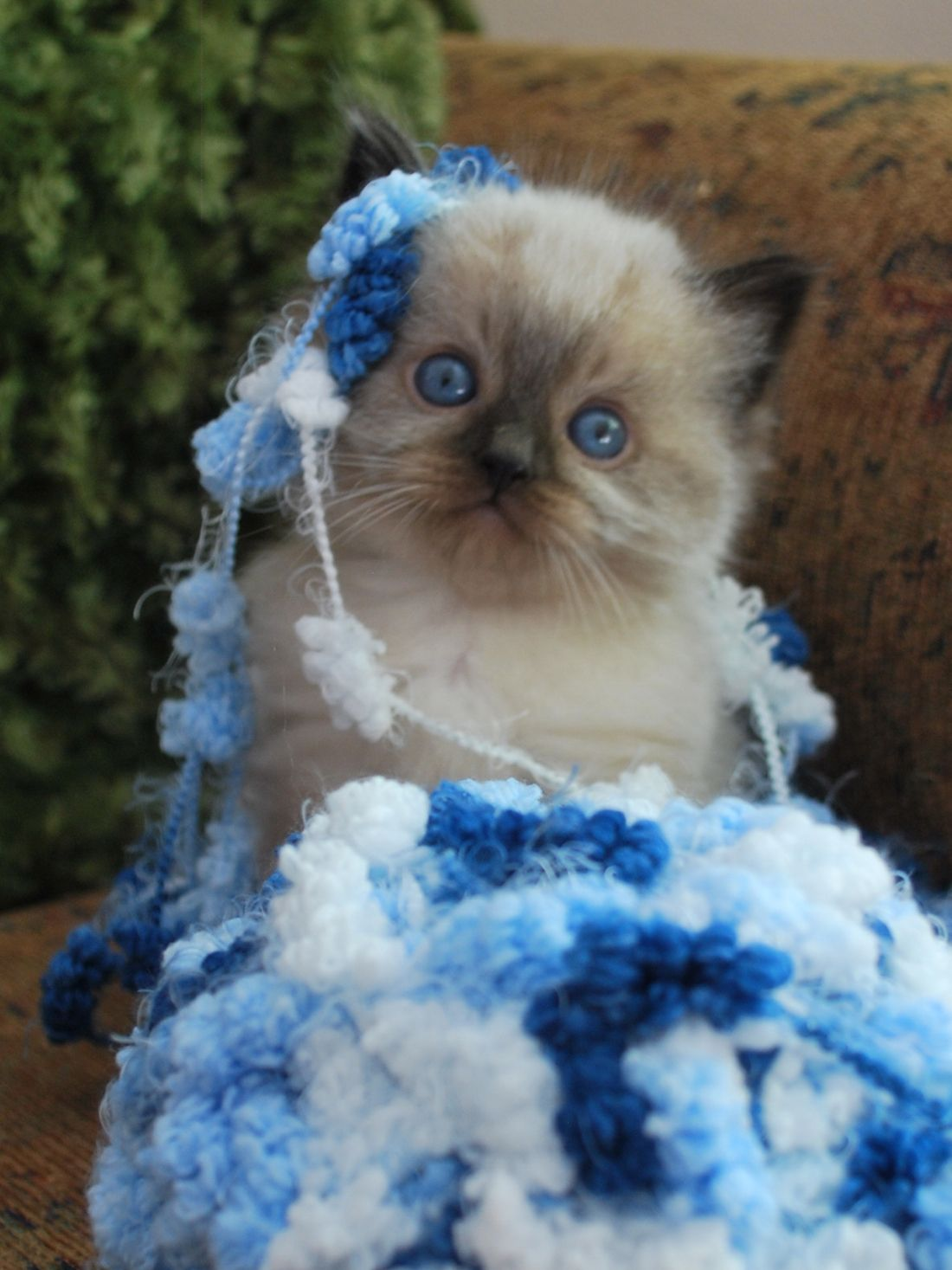 Blue Brings out my Eyes O)) Cute cats, Kittens cutest