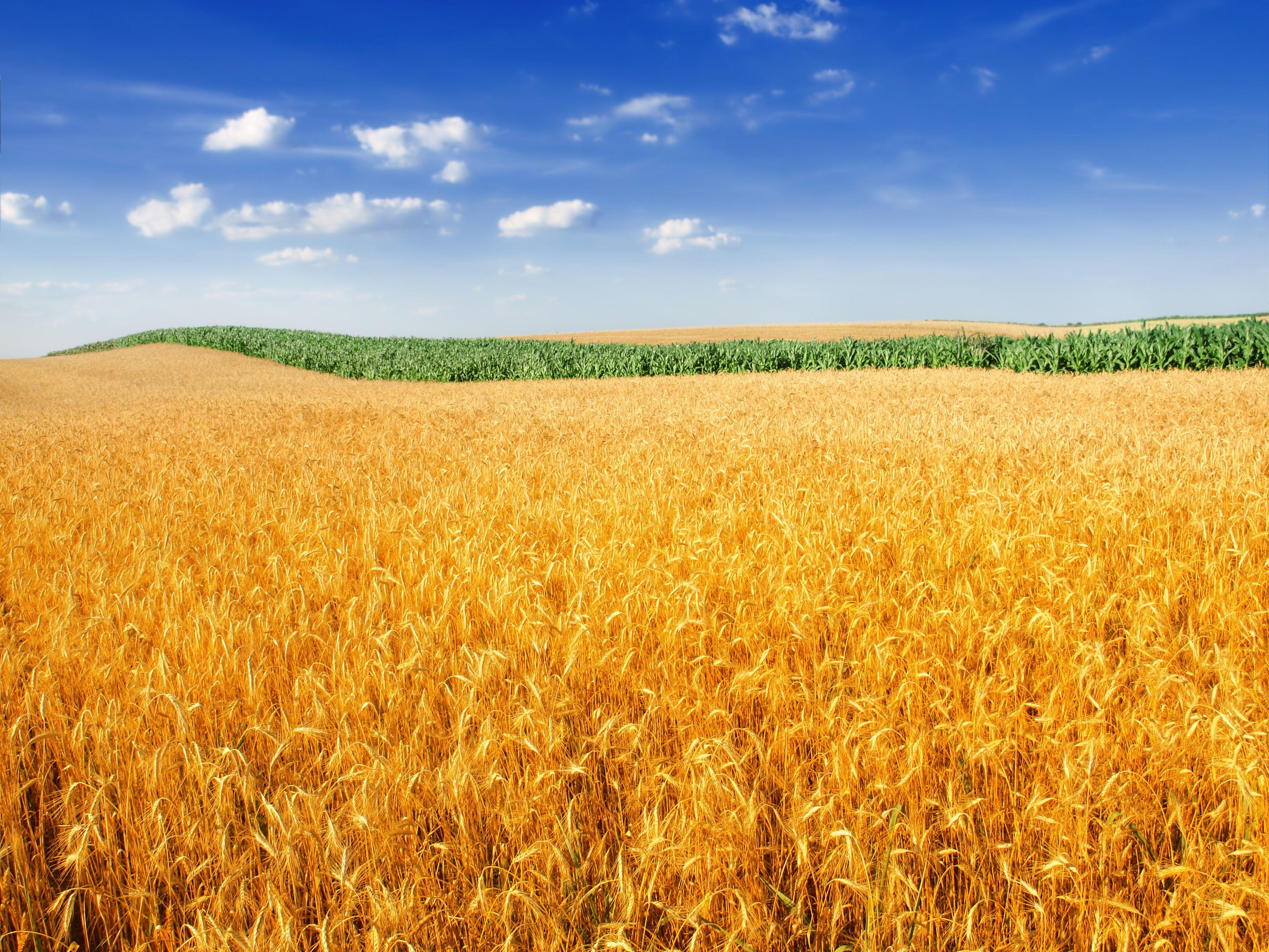 4k Farm Landscape Crop Wheat Field 2k Wallpaper Hdwallpaper Desktop Wheat Fields Field Wallpaper Plant Wallpaper