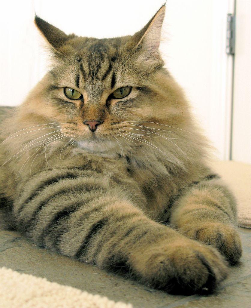 American Bobtail Cat The American Bobtail Cat is an