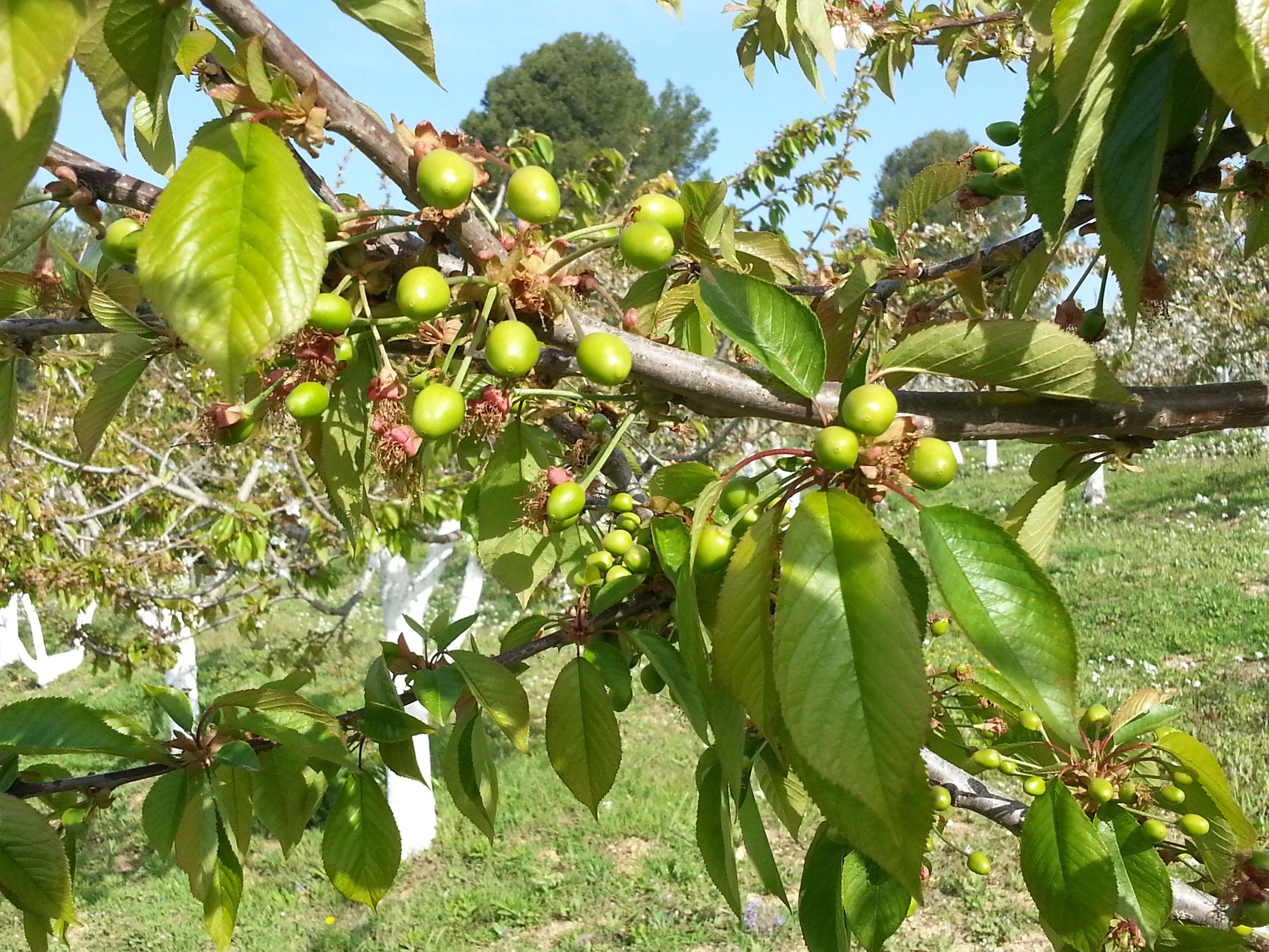 Nuestras cerezas
