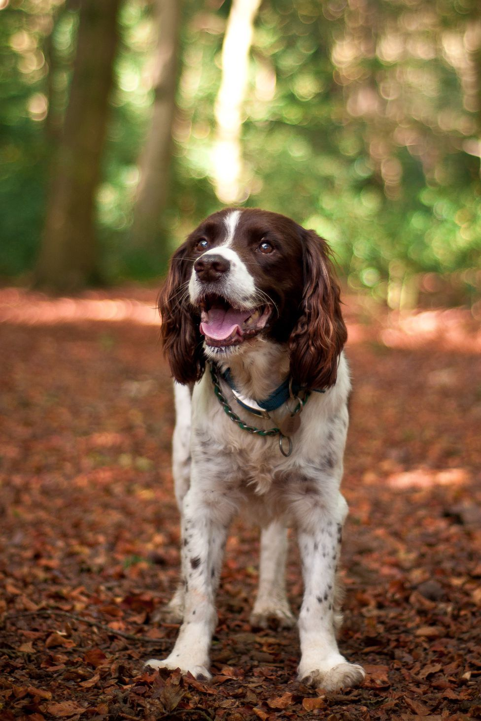 40 Best Medium Sized Dogs English Dogs Dog Breeds Medium Springer Spaniel Puppies