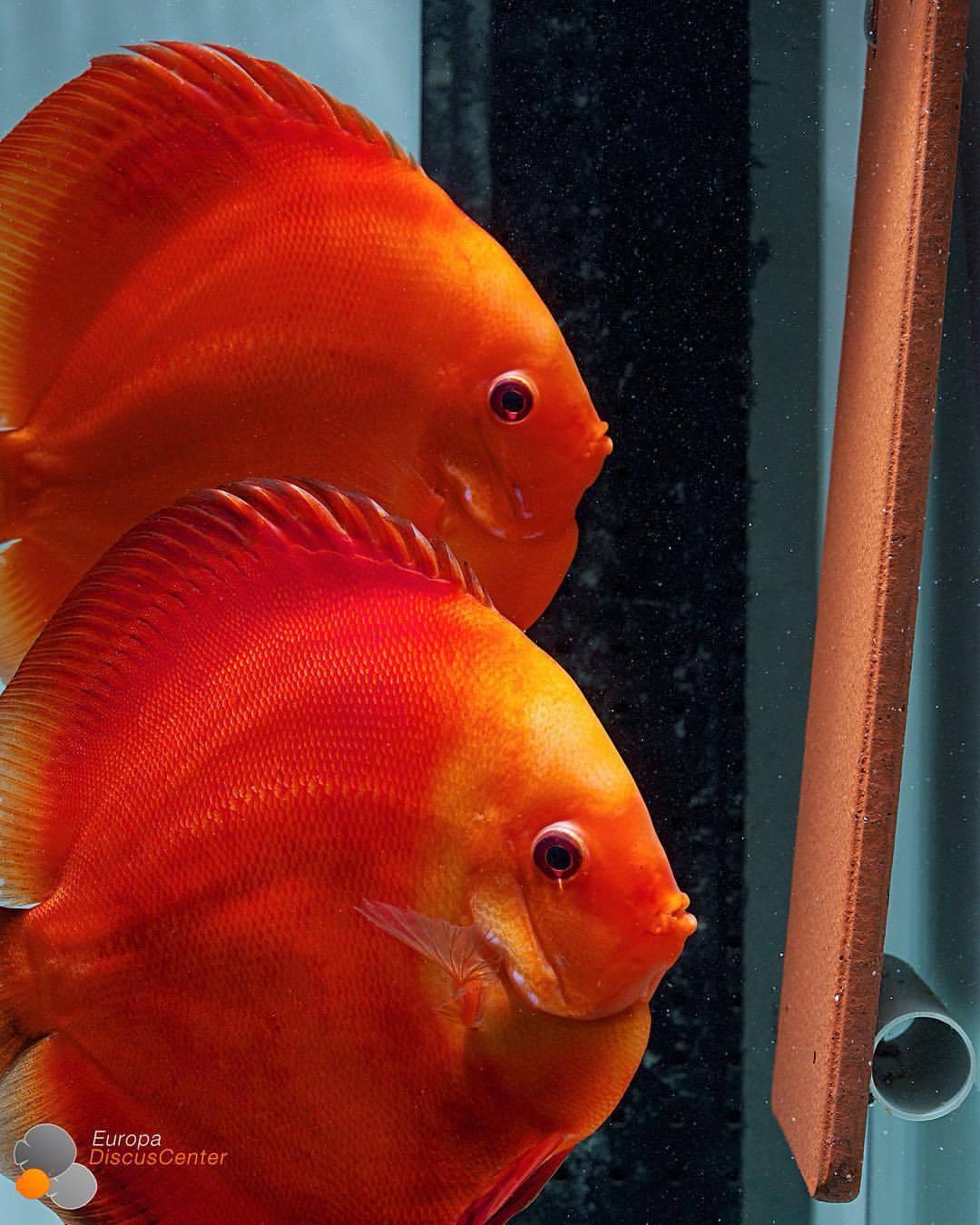 Super Red Melon Discus Breeding Pair Discus Fish Saltwater Aquarium Fish Aquarium Fish